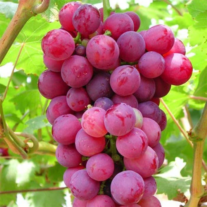 Beberapa Manfaat Buah Anggur Merah, Sibuah Segar Yang Dapat Mengatasi Wajah Berminyak